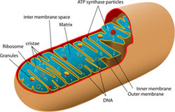 A diagram of a mitochondrion