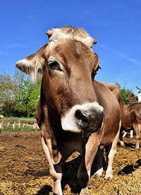 pixabay photo of cattle, a special interest in some people with autism