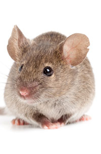photo of brown mouse